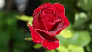 vallee de la rose